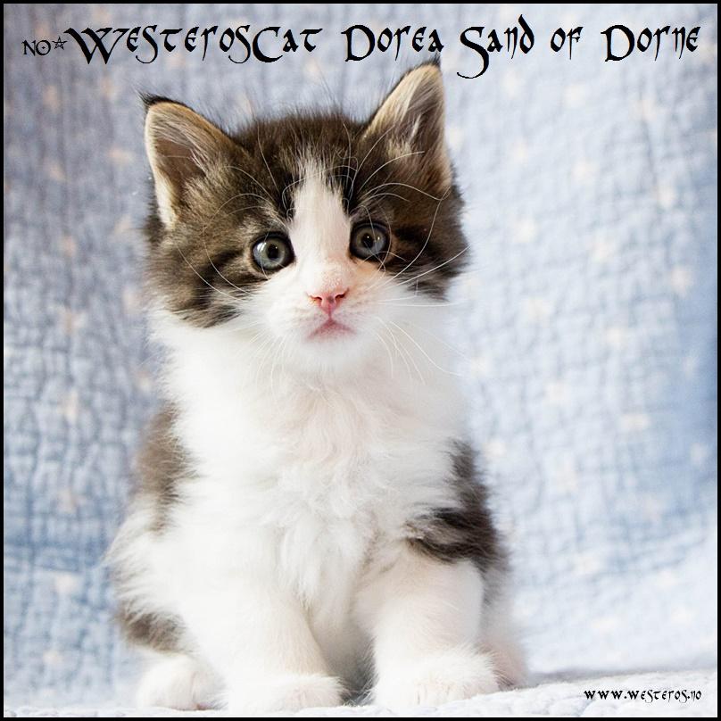 hvite kattunger til salgs